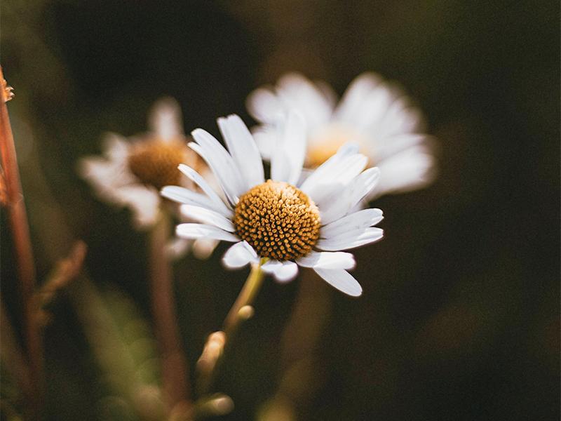 chamomile plant blog